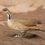 Самцы лапчатоногов вынашивают птенцов в карманах под крыльями