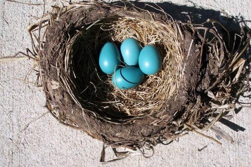 Зачем птицы несут голубые яйца?