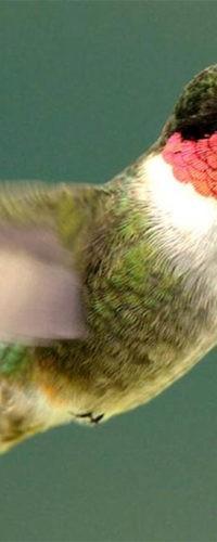 5 удивительных примеров того, как птицы изменяют тело в сезон миграции