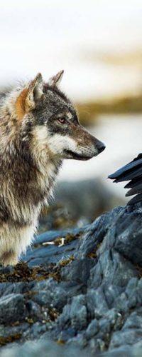 Вороны и волки: совместная охота и игры