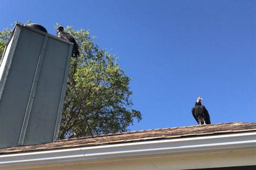 Группа редких кондоров оккупировала дом в Калифорнии