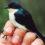 Атласный фруктоед: в Новой Гвинее обнаружили новый вид птиц