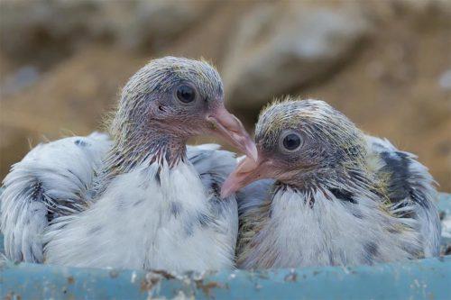 Птенцы голубя: легко услышать, но сложно увидеть