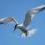 Крачки покинули сотни гнезд, испугавшись дронов