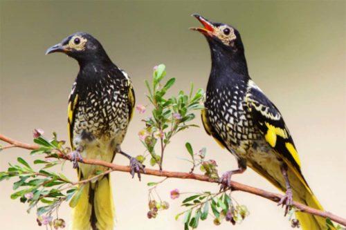 Австралийские орнитологи учат птиц брачным песням