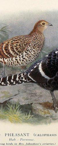 Иллюстрации птиц из журнала The Avicultural Magazine 1910-1920-х годов