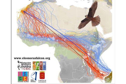 Зачем соколы летают зигзагами и пролетают на 3 000 км больше