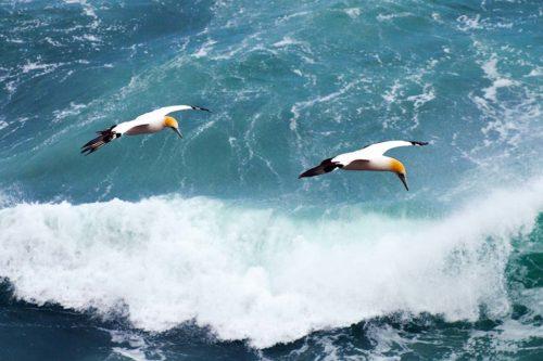 Морские птицы с черными крыльями лучше летают