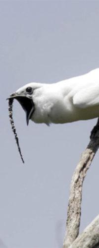 Одноусый звонарь: птица, которая может перекричать самолет