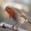 Самки птиц умеют петь не хуже самцов. А зачем им это?
