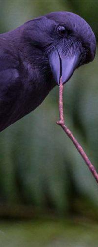 Новокаледонские вороны тщательно выбирают древесину для своих инструментов