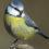 Синицы узнают о плохой еде от других птиц
