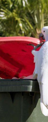 Австралийские какаду учатся друг у друга открывать баки с мусором