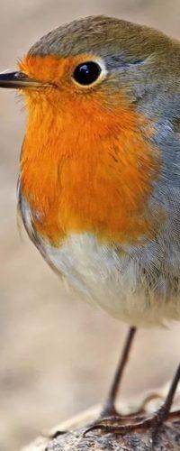 Зарянка постоянно меняют места гнездования