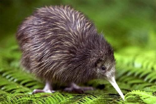 Популяция киви в Новой Зеландии начала расти