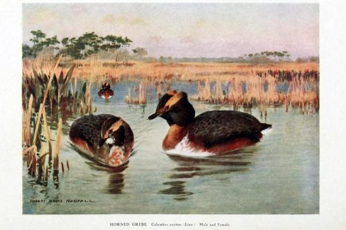 Иллюстрации птиц из книги Synopsis avium : nouveau manuel d'ornithologie v.1 (1902)