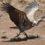 Африканский сип может подниматься на высоту 11 км