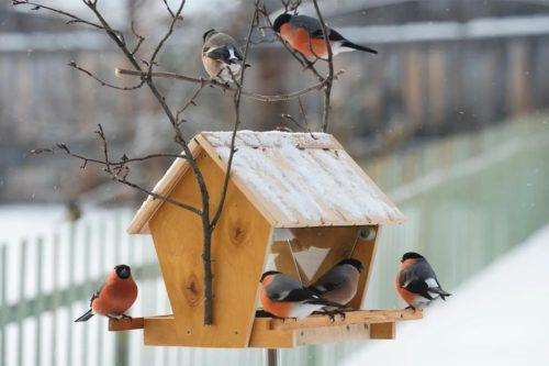Многие зимующие птицы зависят от человека, но не все