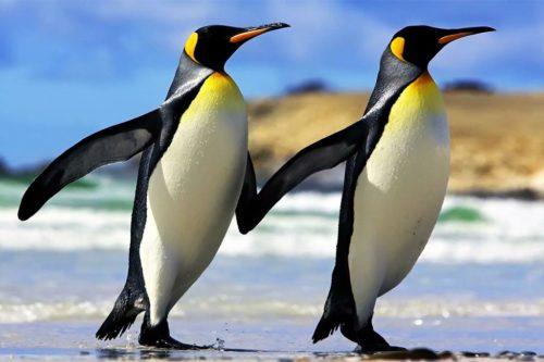 Императорский пингвин может задерживаться под водой более 30 минут