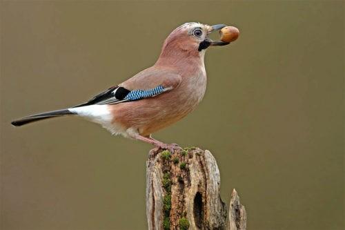 Какие птицы делают запасы на зиму?