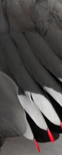Свиристель привлекает самочек «восковыми крыльями»