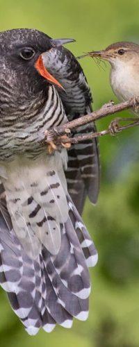 Кукушки выбирают хозяев гнезд с маленькими глазами