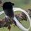 Астрапия: маленькая птица с большим хвостом