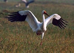 Стерхи, или белые журавли – птицы, проживающие на северных территориях России