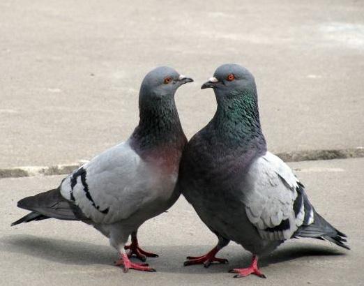У голубей в Нижегородской области обнаружен вирус Ньюкасла