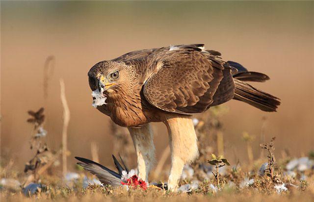 Испанский ястребиный орел может исчезнуть
