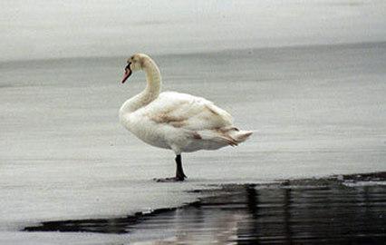 В Башкирии стая залетных лебедей вмерзла в пруд