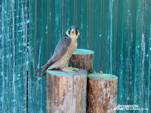 Сапсан в Самарском зоопарке