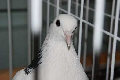 В Горловке прошла Всеукраинская выставка голубей
