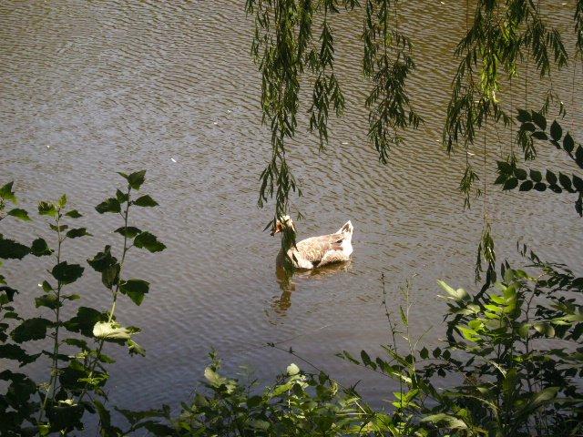 В Запорожье в парке украли гуся