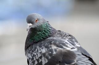 Россельхознадзор: саратовских голубей поразила азиатская чума