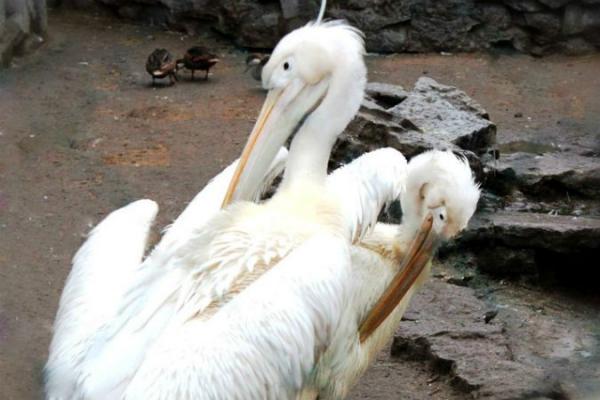 Розовые пеликаны 13 лет жили в Ленинградском зоопарке не имея имен