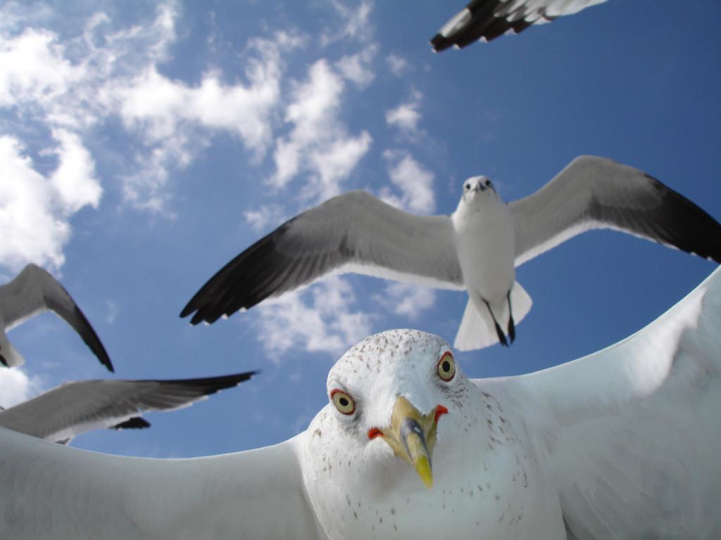 В Лигурии чайки атакуют отдыхающих