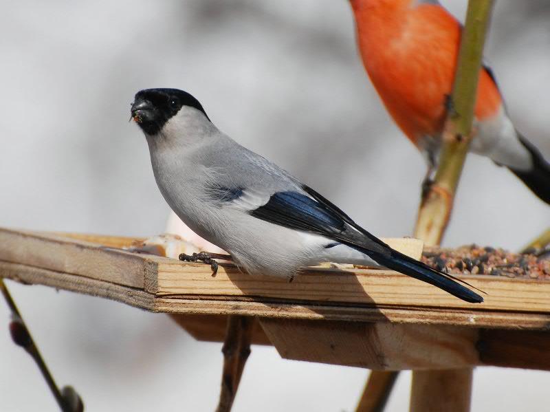 «Юбилейная» птица — серый снегирь