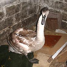 Брест: Как добрые люди лебедя спасали